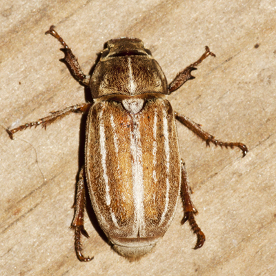 Lined June Beetle - Polyphylla occidentalis - female