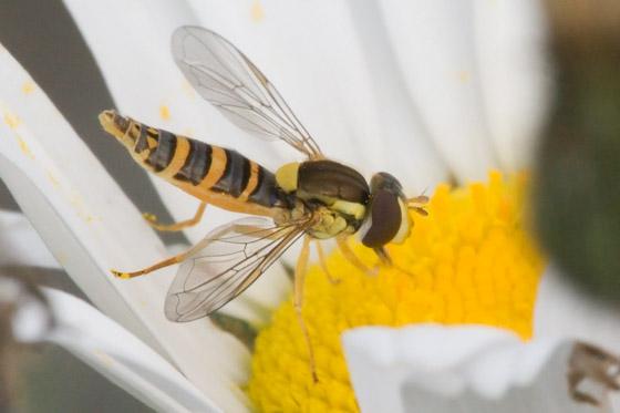 Yellow, Brown and Orange Hovering 'Bug' - Sphaerophoria