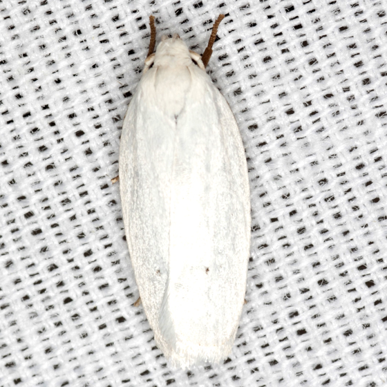 Vestal Moth - Hodges #1024 - Antaeotricha albulella