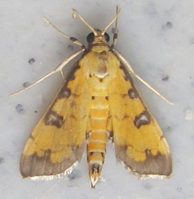 Two-spotted Crambid - Ategumia ebulealis
