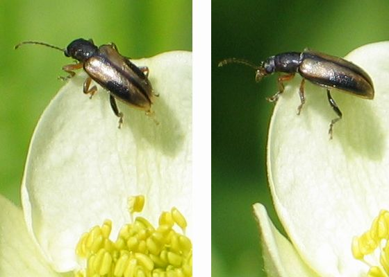 silver-backed beetle - Orsodacne atra