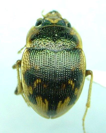 Omophron americanum - male
