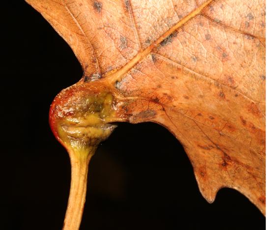 Pemphigus populicaulis, back side of gall - Pemphigus populicaulis