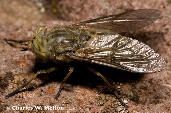 Horse Fly - Atylotus calcar