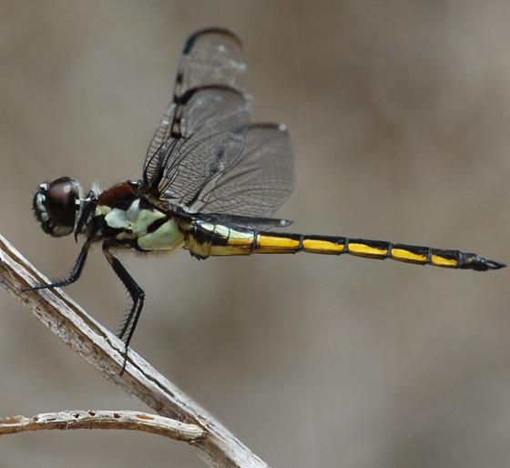 dragonfly - Libellula axilena