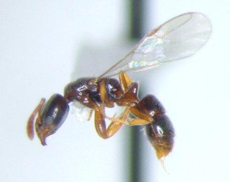 Ant 8 - Hypoponera - female