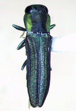 Buprestid - Agrilaxia flavimana