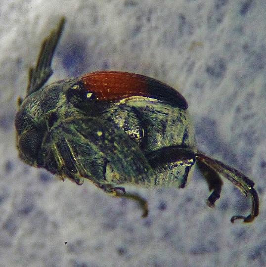 Stumped. Odd, very distinct beetle. Family? Anything? - Megacerus discoidus