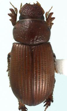 Odontopsammodius cruentus (Harold) - Odontopsammodius cruentus