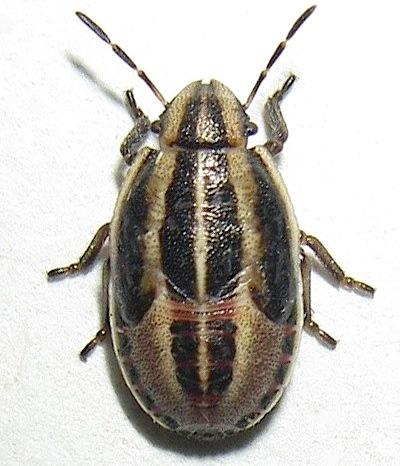 Bug Nymph - Aelia americana
