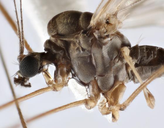 Winter Tipulid - Trichocera bimacula - male