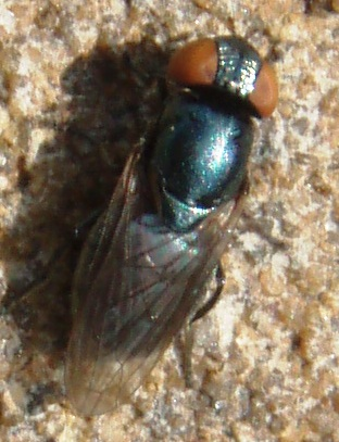 small fly - Orthonevra - female