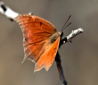 Goatweed Leafwing - Anaea andria - male
