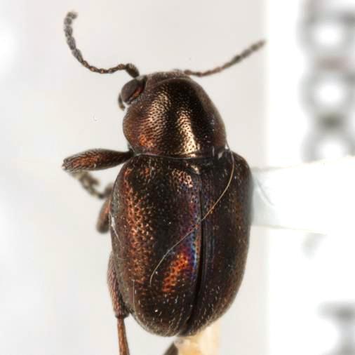 Graphops simplex LeConte - Graphops simplex