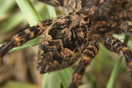 female spider - Dolomedes - female
