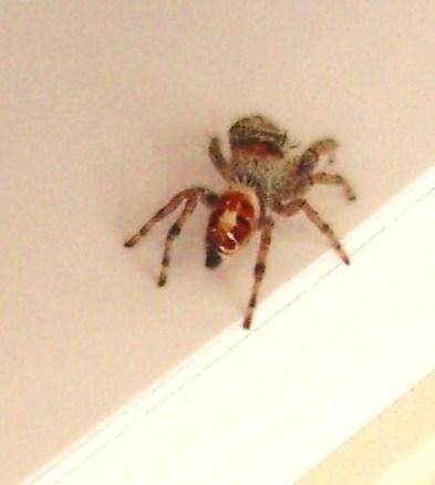 Identification?  I think this is a Phidippus Adumbratus - ? - Phidippus adumbratus - female