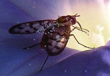 Bee Fly - Poecilognathus
