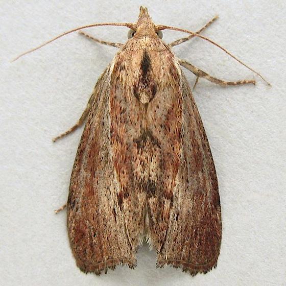 Greater Wax Moth? - Galleria mellonella