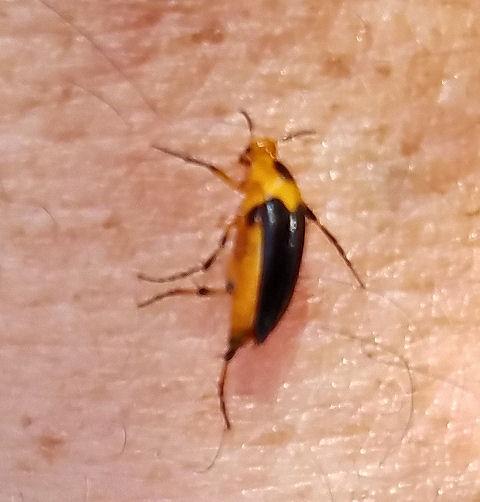 Wedge shaped beetle - Macrosiagon limbata