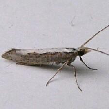 Plutella sp., possible Diamondback Moth - Plutella