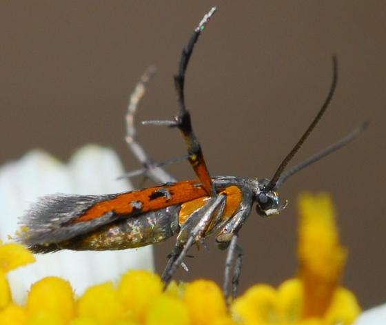 moth - Aetole bella