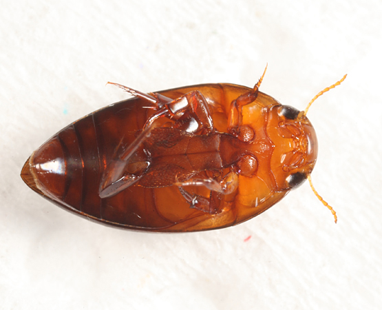 Burrowing Water Beetle - Hydrocanthus iricolor - female