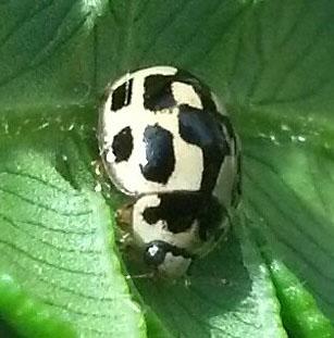 Propylea quatuordecimpunctata - Fourteen-spotted Lady Beetle - Propylea quatuordecimpunctata