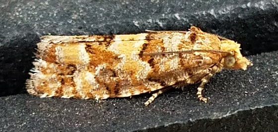 Eucosma tocullionana (White Pine Cone Borer) - Eucopina tocullionana