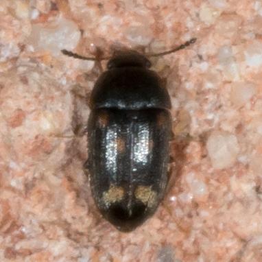 Spotted Beetle - Litargus sexpunctatus