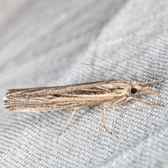 Sod Webworm Moth - Pediasia trisecta