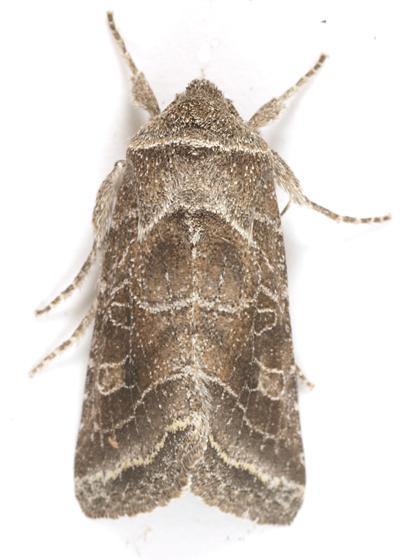 Lacinipolia erecta - Hodges#10403 (Lacinipolia erecta) - Lacinipolia erecta
