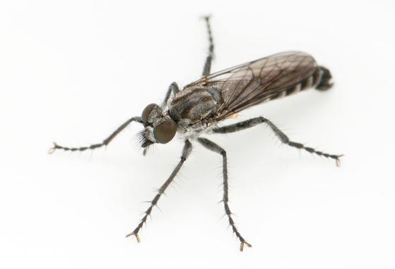 Lasiopogon cinereus Cole - Lasiopogon cinereus - male