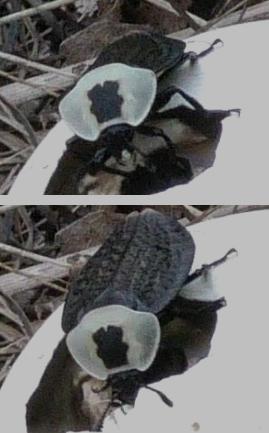 Bug eating an egg - Necrophila americana