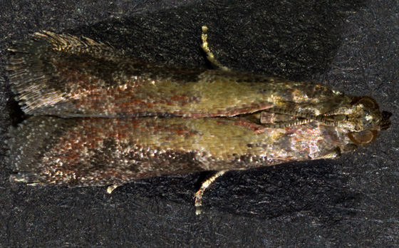 Moth - Ephestiodes infimella