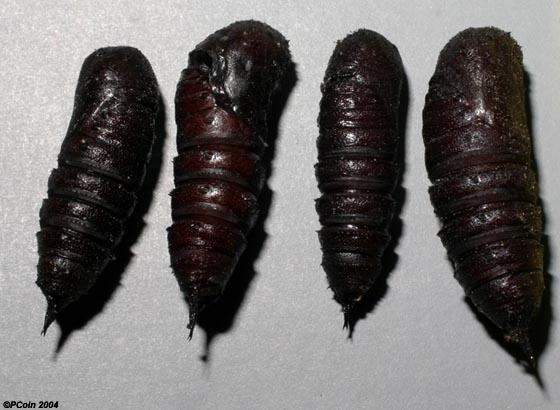 Oakworm Moth (Pupa) - Anisota senatoria