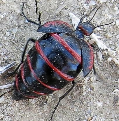 Unknown Megetra species - Megetra cancellata