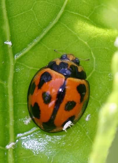 Variable Ladybird Beetle - Coelophora inaequalis