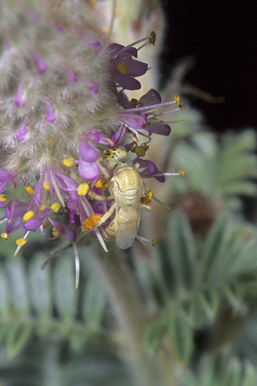 Blond Bee - Perdita perpallida - female