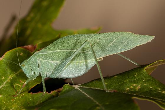 California Angle-wing Katydid - Microcentrum californicum - male