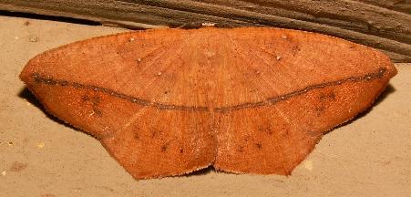 Moth - Prochoerodes lineola