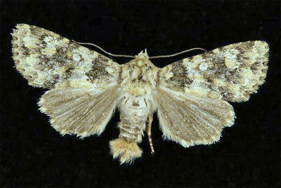 9529.1  - Aseptis pseudolichena