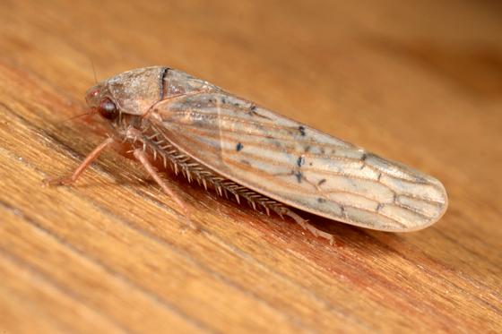 Leafhopper - Ponana rubida