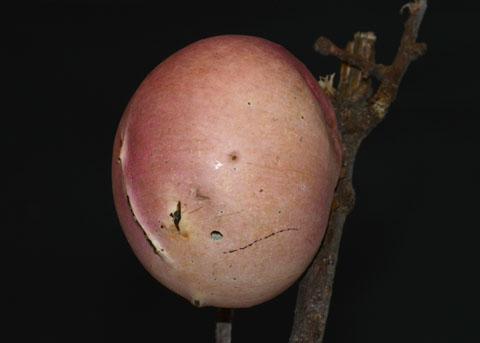 Oak Apple - Andricus quercuscalifornicus