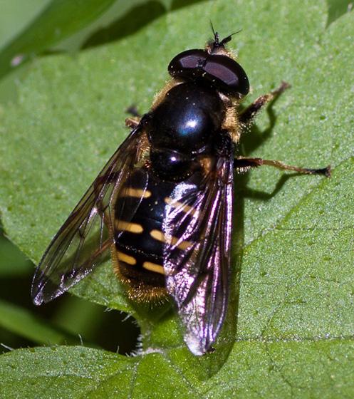 Syrphidae - Sericomyia chalcopyga