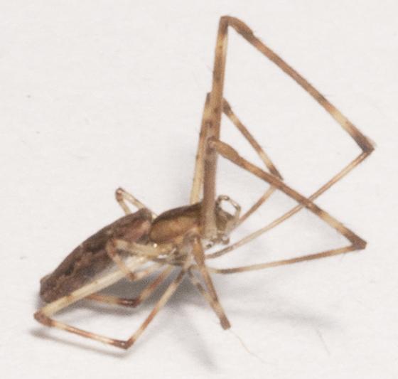 Unknown Tetragnathid - male