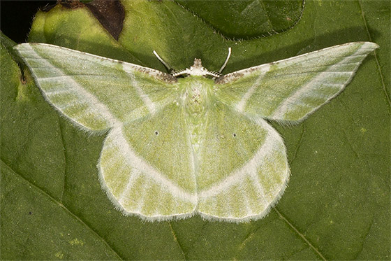 Showy Emerald - Hodges#7053 - Dichorda iridaria