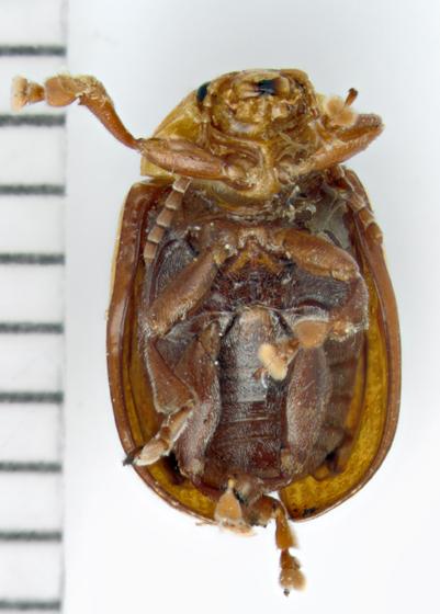 Sumac Flea Beetle, ventral - Blepharida rhois