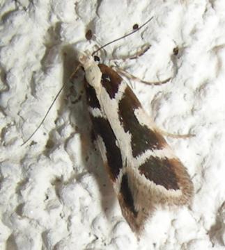 Moth # 08-28 - Aroga paulella