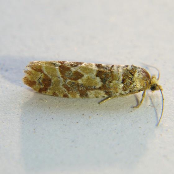 Eucosma bobana - Hodges #3067 - Eucopina bobana