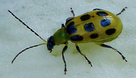 Spotted Cucumber Beetle (Diabrotica undecimpunctata) - Diabrotica undecimpunctata